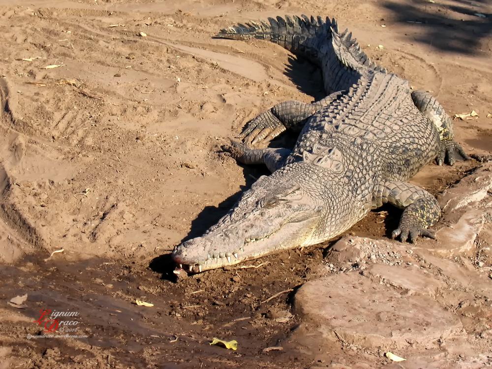 crocodile 7