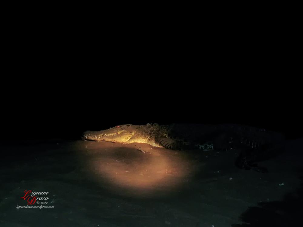 crocodile 8